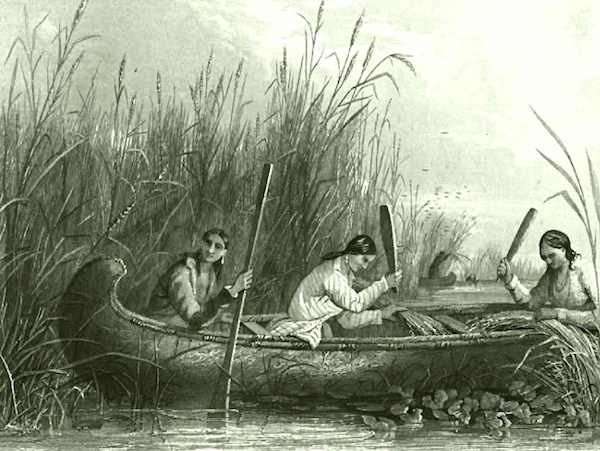 WIld rice harvesting with canoe, as depicted in 1853 illustration
