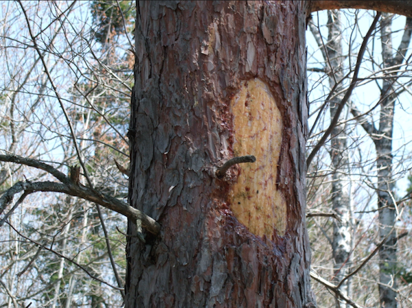 Gnawed area in bark of pine tree results in leaking sap