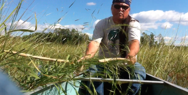 Wayne using canoe to catch harvested wild rice