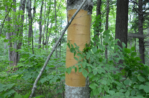 birch tree from which bark has been harvested